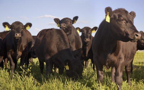 «Мираторг» инвестировал свыше 727 млн рублей в проект мясного скотоводства в Тульской области