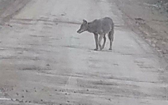 В Алтуховке заметили волка