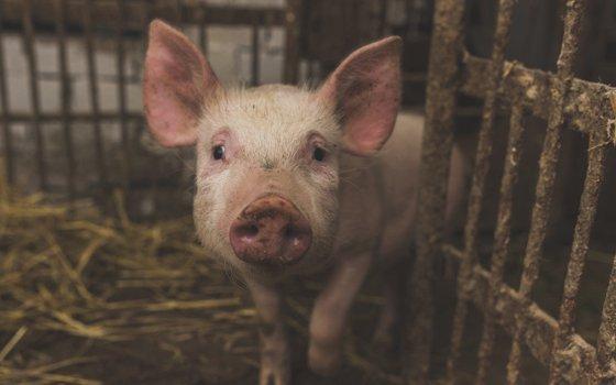 На Смоленщине вырос экспорт животноводческой продукции